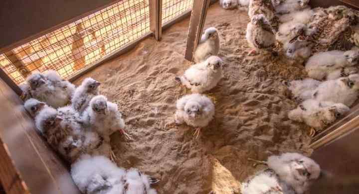 Liberación de pollos cernícalo primilla ZEPA